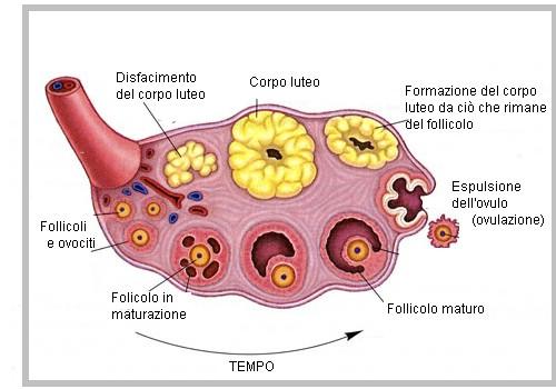 ciclo del follicolo nell'ovaio
